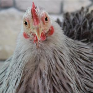   Chicken   VetNOW   Veterinary Telemedicine Platform for Veterinary Specialty Care   1000 Noble Energy Drive, Suite 600 Pittsburgh, PA 15317   https://testweb.vetnow.com/